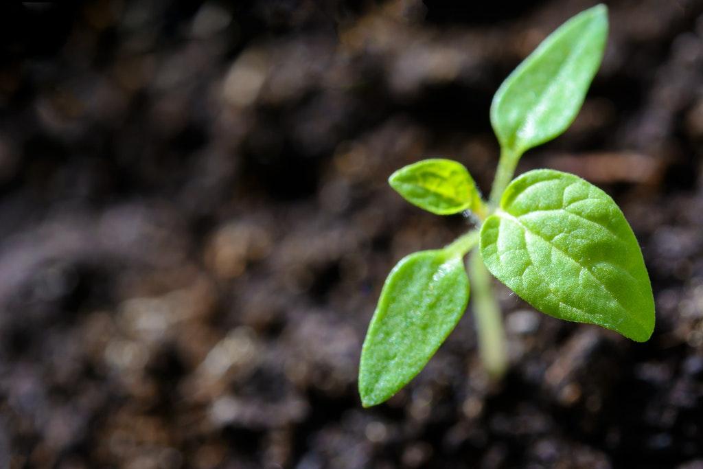 plantar y cuidar maní